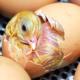 Transporte de pollitos de un día