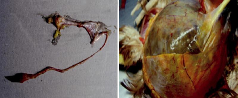 """Estrangulamiento del oviducto en gallina """"falsa ponedora"""". Imagen de la izquierda: Estrangulamiento del oviducto en gallina """"falsa ponedora"""". Imagen de la derecha: Lesión quística oviductal en gallina adulta."""