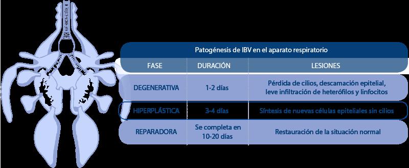 Patogénesis de IBV en el aparato respiratorio
