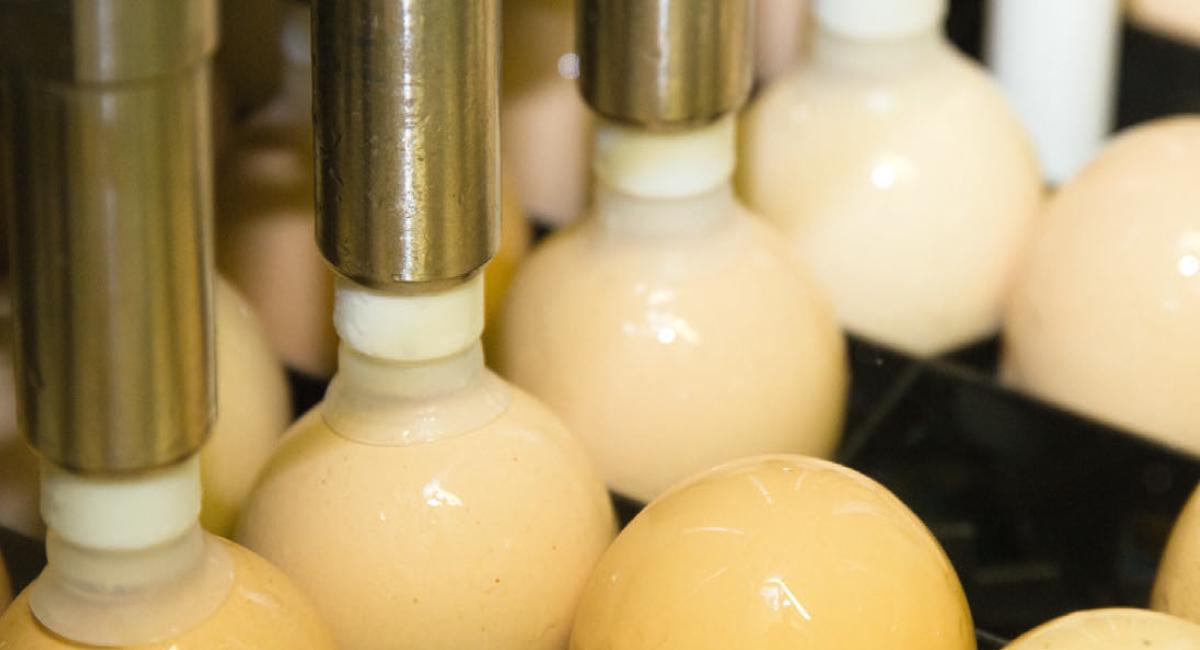 Vacunación in ovo con Egginject®, diseñado para ser seguro