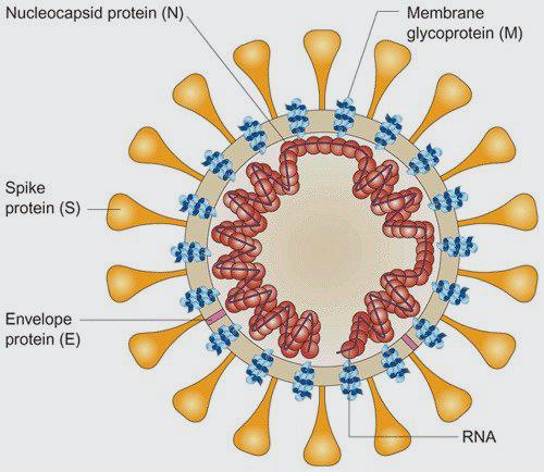 Protección cruzada para el virus de la bronquitis infecciosa